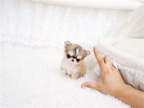teacup pomeranian for sale in houston teacup pomeranian houston bulldog puppies for sale