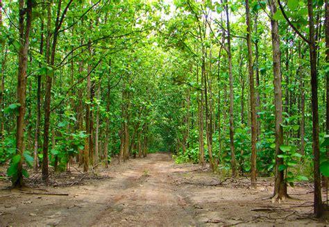 guadua bamboo vs teak plantations guadua bamboo