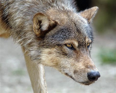 Google Themes Wolf | wolf google skins wolf google backgrounds wolf google themes