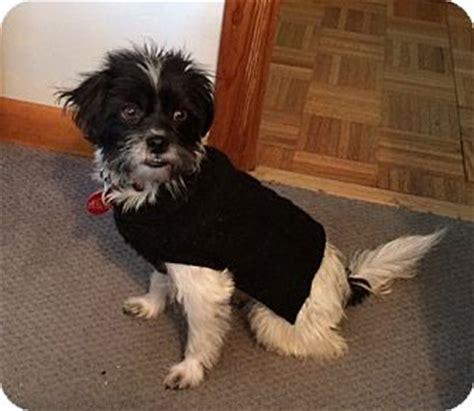 shih tzu border terrier mix sudbury ma shih tzu border terrier mix meet mimi a for adoption