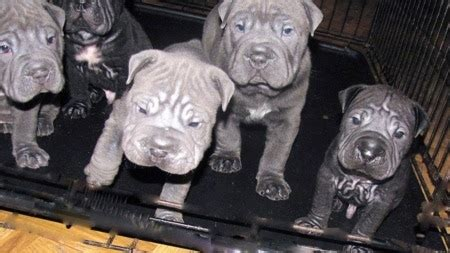 bull pei puppy bull pei breed information and pictures
