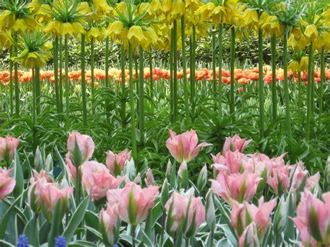 tulip flower garden keukenhof gardens near amsterdam tulip and flower gardens by