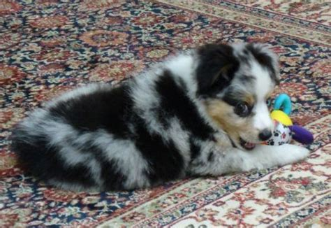 australian shepherd puppies for sale in indiana puppies for sale miniature australian shepherd miniature australian shepherds mini