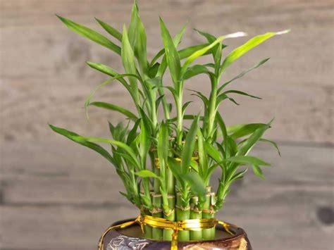 bambu in vaso bamb 249 da interni bambusa vulgaris e altre specie