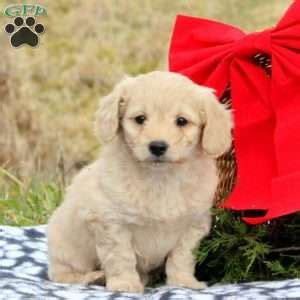 doodle name justine new arrivals see new puppies greenfield puppies