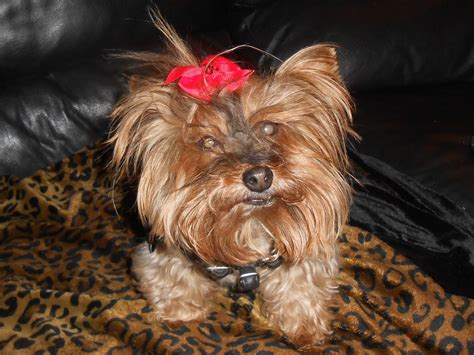 yorkie rescue nm chihuahua westchester county new york breeds picture