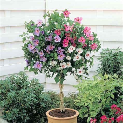 giardini in vaso pianta di ibiscus ad alberello giardino e orto