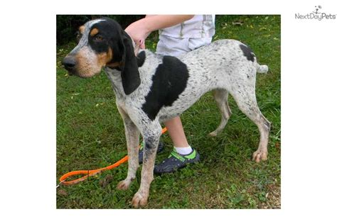 bluetick puppies for sale bluetick coonhound puppies for sale newhairstylesformen2014