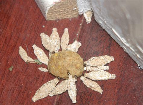 Do Pantry Moths Eat Wool by Getting Rid Of Carpet Moth Larvae Oropendolaperu Org