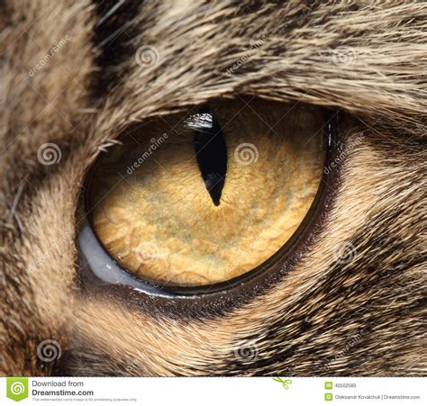 Softlens Cats Eye Soflens Cats Eye cat s eye up stock photo image 40502580