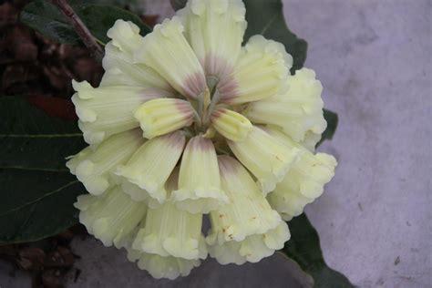 fiori di rododendro piante per esterno vivai andriolo osoppo