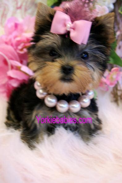 yorkies for sale in fayetteville nc maltese dogs for sale fayetteville nc breeds picture