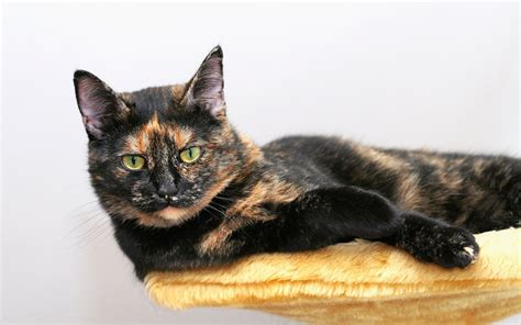 10 Things You Didn't Know About the Tortoiseshell Cat
