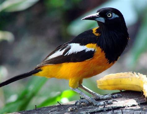 turpial ave nacional venezuela apexwallpapers com el turpial es una de las aves m 225 s hermosas de venezuela y
