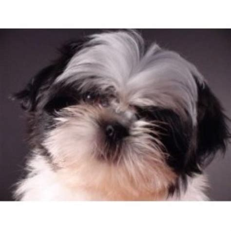 shih tzu rescue oklahoma shih tzu breeders in new hshire freedoglistings