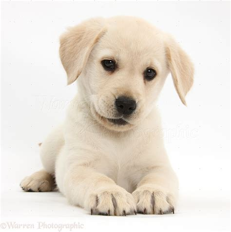 yellow lab and golden retriever yellow labrador retriever puppy lab labrador retriever retriever