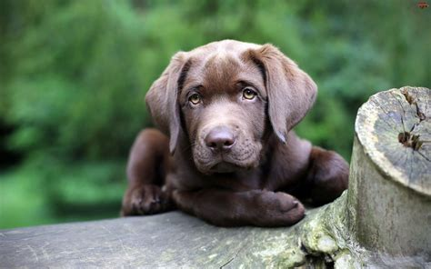 chesapeake puppies chesapeake bay retriever temperament names rescue adoption