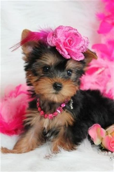 best way to house a yorkie 17 best images about yorkies on yorkie merry and 12 weeks