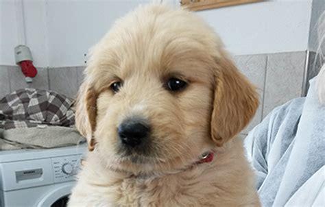 ab wann werden welpen stubenrein hundewelpenimpfung ab wann 24 februar 2017