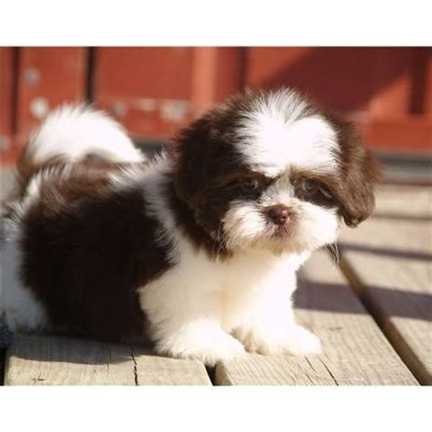 shih tzu free to home ireland stunning shih tzu puppies for sale for sale adoption from monaghan monaghan adpost
