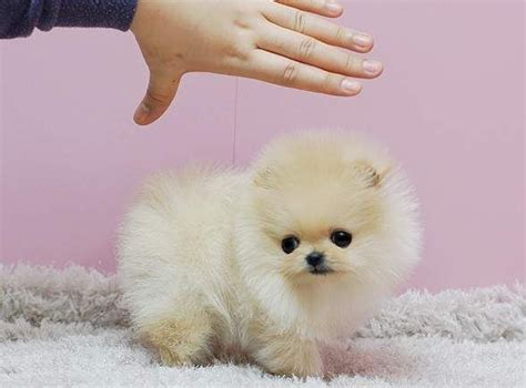 tiniest tiny micro teacup pomeranian puppy 25 best ideas about teacup pomeranian puppy on pomeranians pomeranian