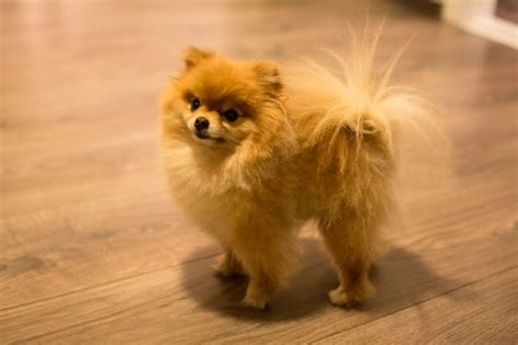 teacup pomeranian shed all you wanted to about the itsy bitsy teacup pomeranians
