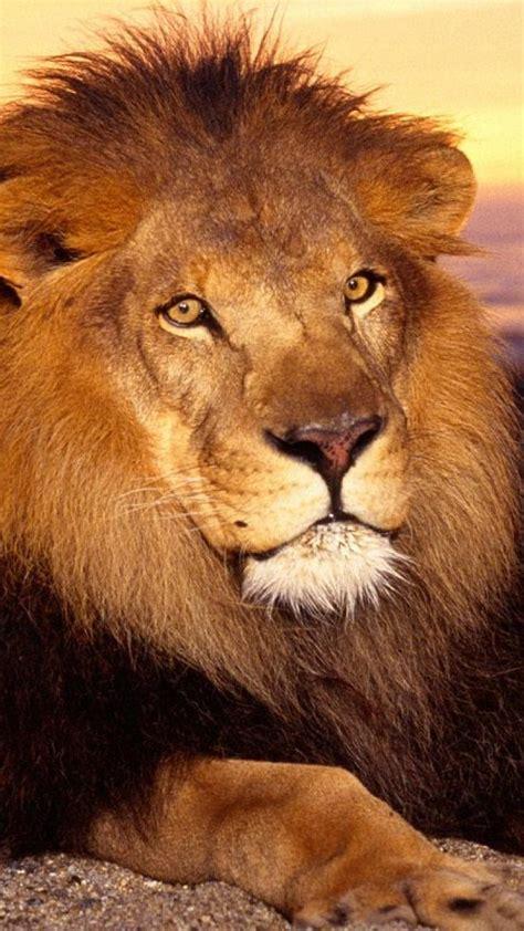 imagenes leones para niños fondos de animales para fotos imagui