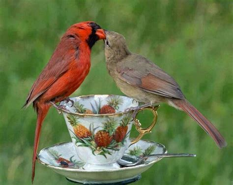 11 best images about cardinals birds on pinterest vero