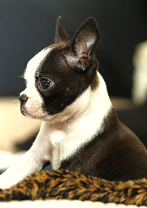 Bulldog Shed by Best 25 Bulldog Shedding Ideas On Bulldog Blue Frenchie And