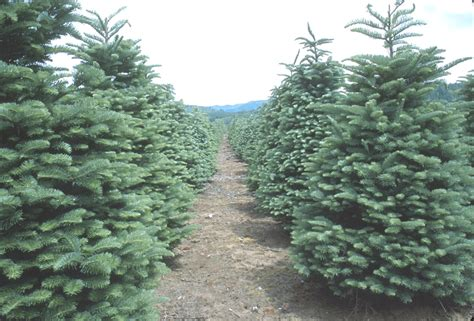 washington xmas tree farms