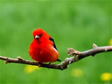 world beautiful birds red tanagers birds interesting