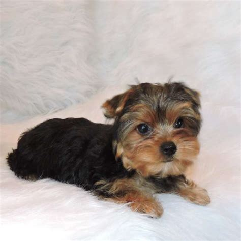 price of yorkie puppies without papers terrier for sale tate teacup yorkies sale