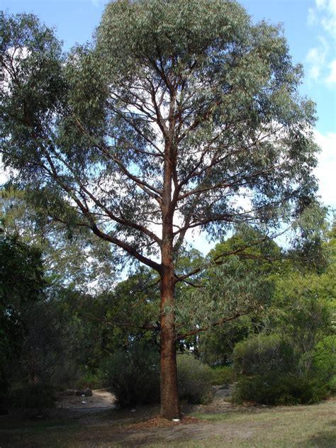 Minyak Kayu Putih Ekaliptus eucalyptus radiata