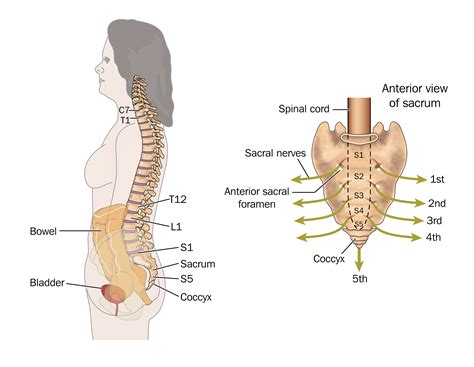 sacrum diagram side view of the bowel spinal column and sacral nerves