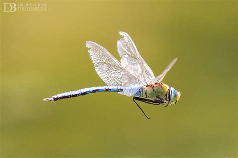 dragonflies in flight