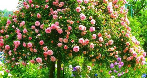 impressionante Alberello Da Giardino #1: rose-ad-alberello_NCG1.jpg