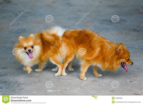 pomeranian mating and pomeranian mating mating of pet stock photo image 43983629