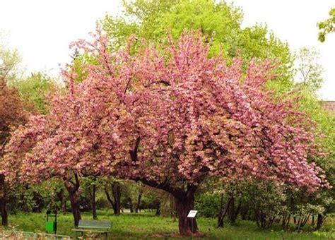 ciliegio in fiore ciliegio in fiore significato fiori ciliegio in fiore