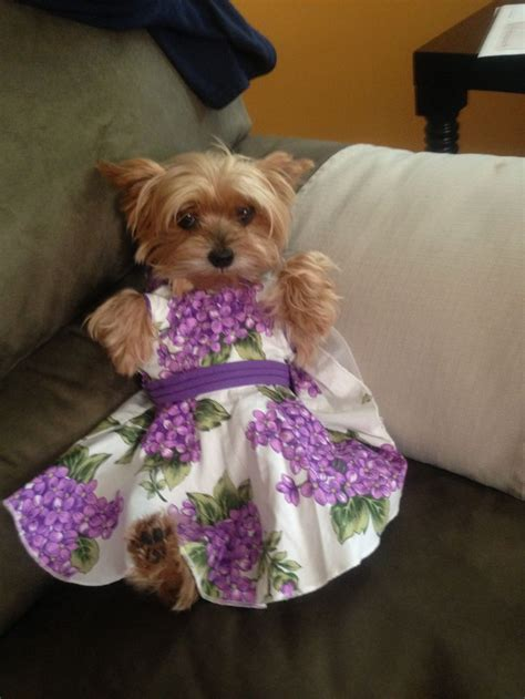 yorkie dressed up this is the dressed up yorkie yorkies