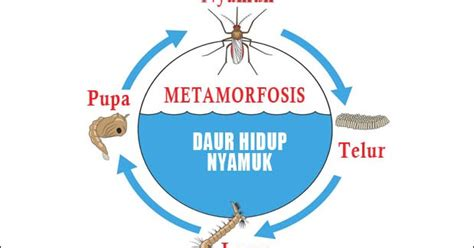metamorfosis nyamuk urutan proses tahapan dan gambarnya ebiologi
