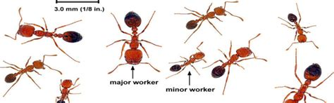 how to get rid of fire ants in the house how to get rid of fire ants in your house best diy approches