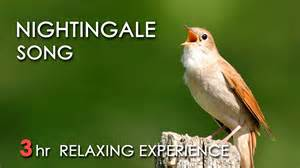 Song 3 hours realtime nightingale singing no loop birdsong birds