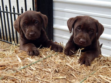 name for puppies lori s labs in virginia home