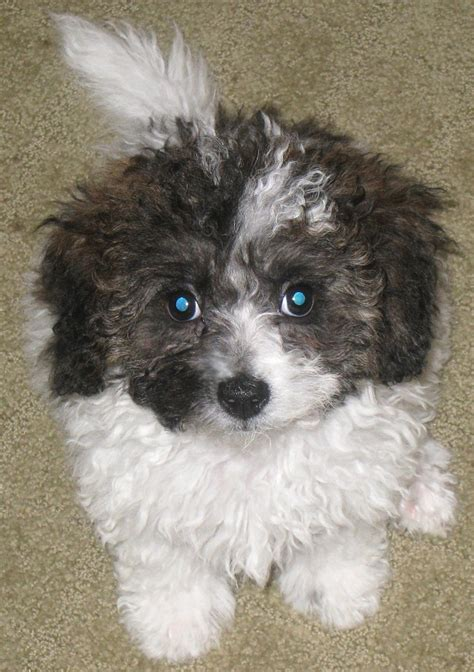havachon puppies havachon havanese bichon frise mix info temperament pictures