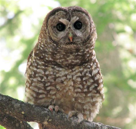 spotted owls benefit from forest fire mosaic all about birds