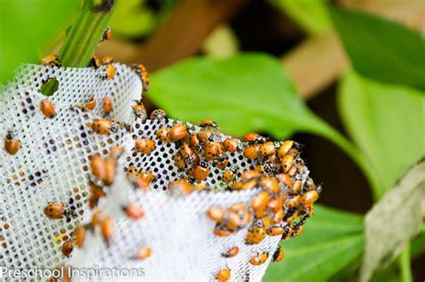 Ladybird Garden Decoration by Ladybug Facts For Preschool Inspirations