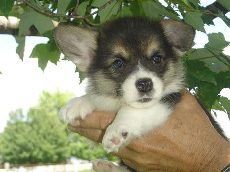 corgi puppies missouri corgi dogs for sale in missouri breeds picture