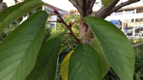 8 cherry trees lower stondon flowering cherry tree prunus leaves october 2017