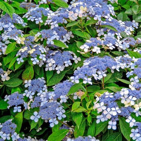 shrubs blue billow hydrangea