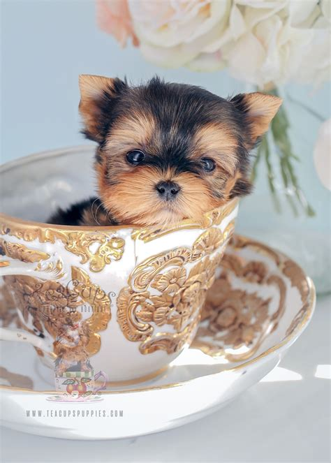 teacup puppies and boutique teacup maltese and maltese puppies for sale in south florida breeds picture